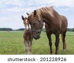 Finn Horse Mare Taking Care Of...