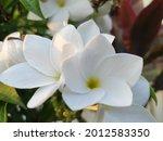 Pagoda Flower  Plumeria Pudica  ...