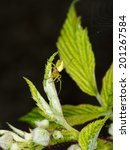 Small photo of Very bright green Araniella spider in raspberry plant.