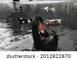 A Black Swan Swims In The Water