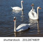 Closeup Swans In Spring  A...
