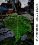 Green Leaves  Rain Soaks Mango ...