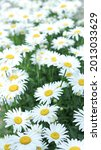Small photo of White beautiful daisies on a field in green grass in summer.Daisy flower background. Beautiful camomile daisy flowers.Daisy is a flower of Asteraceae family.Garden daisies.Leucanthemum vulgare.