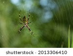 Yellow Striped Spider Outside...