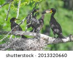 Double Crested Cormorant  ...