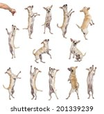 Collection Of 12 Chihuahuas ...