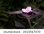 Small Flowers Of A Tradescantia ...