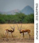 Two Long Horned Male Blackbuck...
