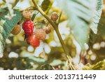raspberries ripening on the... | Shutterstock . vector #2013711449