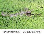 Head Young Crocodile Camouflage ...