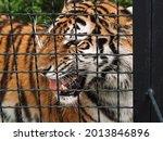 Wild Amur Tiger In Captivity In ...