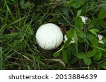 White Mushrooms In The Wood ...