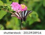 A Zebra Swallowtail Butterfly...