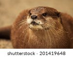 Small photo of A portrait of an African Clawless Otter, an endangered species.