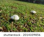 White Mushroom On Green Field...