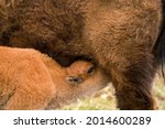 Bison Calf Nursing In The...