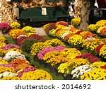 Rows of potted mums for sale at a farm market - stock photo