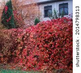 Red Leaves Of The Vineyard On...