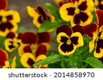 Garden Pansy Large Flowered...