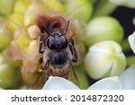 Detail Of An African Honey Bee...