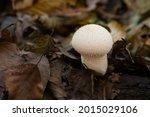 Lycoperdon Perlatum  As The...