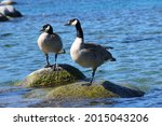 Goose Standing On Stone...