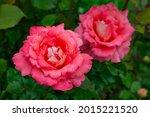 Large Pink Garden Rose Bouquet...