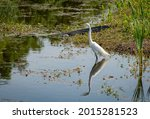 Great Egret With American...