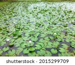 A Large Lotus Pond With White...
