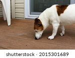 Elderly Jack Russel Terrier Dog ...
