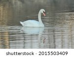 Noble White Swan In The Water...