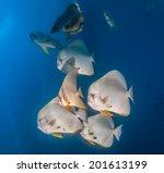 Shoal Of Spadefish Underwater