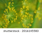 Macro Of Dill  Anethum...