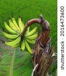 Banana Tress Bear Fruit About...