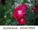 Bright Red Malva Flower Close...