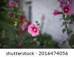 Bright Pink Malva Flower Close...