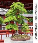 bonsai. it is an asian art form ... | Shutterstock . vector #2016908063