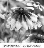 rudbeckia. the species are... | Shutterstock . vector #2016909230