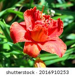 daylily is a flowering plant in ... | Shutterstock . vector #2016910253