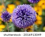 the onion genus allium... | Shutterstock . vector #2016913049