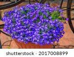 Blue Lobelia Flowers Or Edging...