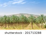 Date Palm Trees On Orchard...