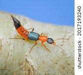 Small photo of A rove beetle, paederus fuscipes