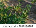 Small photo of Close-up of a field with half-dried sugar beet on a hot sunny summer day. The concept of crop dewatering in the dry season