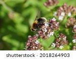 Female Hover Fly Eristalis...