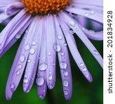 water drops on a purple daisy...