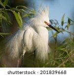 Snowy Egret Showing Breeding...