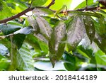 Cacao Tree Leaves Infected With ...