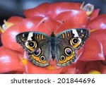 Beautiful Common Buckeye...