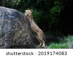 A Lion Trying To Climb On A Rock